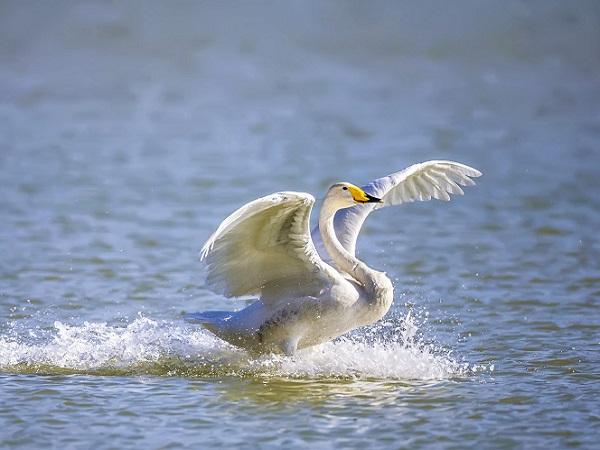 【直通车】<三门峡天鹅湖、陕州地坑院美食纯玩1日游>赏候鸟天鹅,品地坑美食