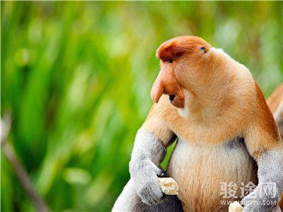 0145029-15659216-沙巴长鼻猴