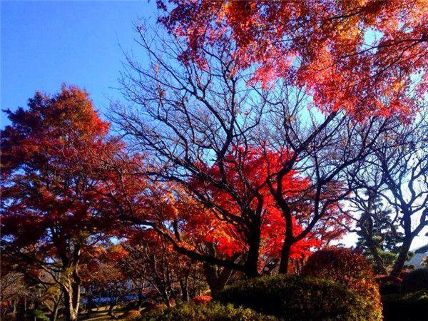 平和公园枫叶