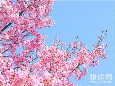 0069116-11293394-日本樱花-粉