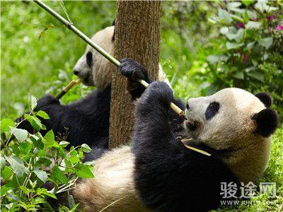 熊猫基地1