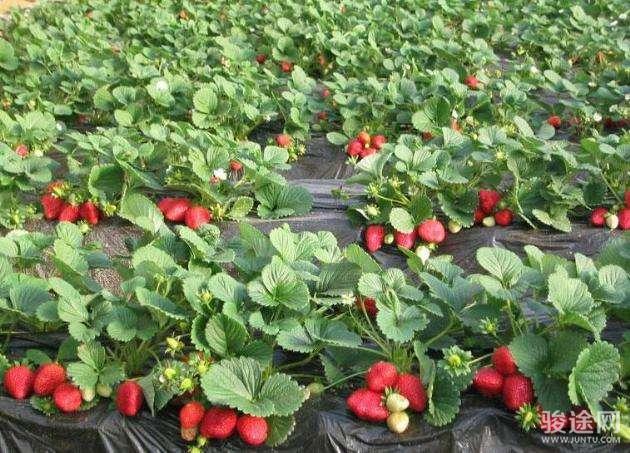 神鹿草莓園